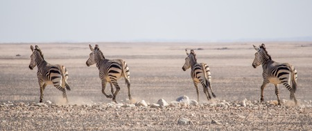 Group of zebras riding on horizon in Namib desert at Namib-Naukluft National Park, Namibia, Africa Stock Photo