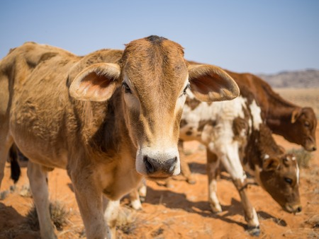 Portrait of three calfs in Namib desert, Damaraland, Namibia, Southern Africa Stock Photo