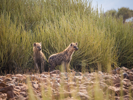 Portrait of spotted hyenas standing in front of green desert bush looking into distance, Palmwag, Namibia, Africa Banque d'images