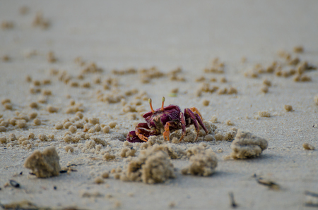 Purple crab crawling out of hole in sand at beach in northern Senegal, Africa