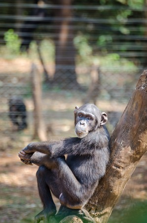 Chimpanzee sitting on tree looking calm and relaxed, Sierra Leone, Africa Stock Photo