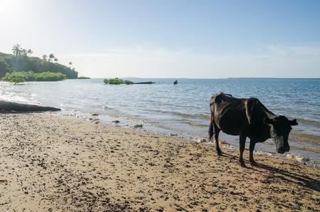Cow standing on tropical beach of island Bubaque, Bijagos Islands, Guinea-Bissau, Africa