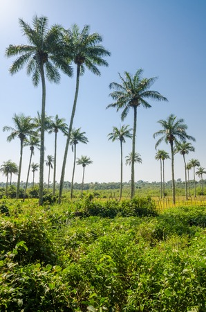 Scenic view over palm trees on tropical island Bubaque, part of the Bijagos Archipelago, Guinea Bissau, Africa