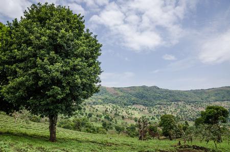 Large green tree in green hilly landscape of highlands of Cameroon along Bamenda Ring Road, West Africa. Reklamní fotografie