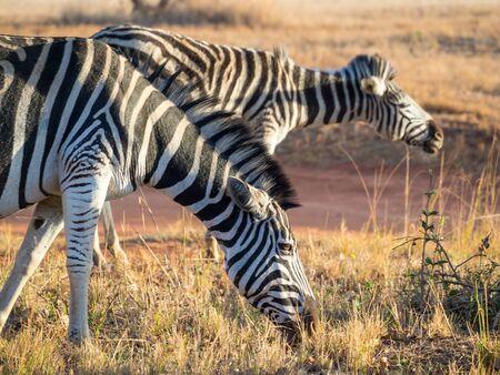 Closeup portrait of zebras in Mlilwane Wildlife Sanctuary, Swaziland, Southern Africa.