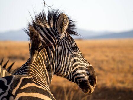Closeup portrait of zebra in Mlilwane Wildlife Sanctuary, Swaziland, Southern Africa.