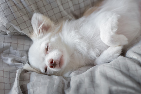 innocent: White Chihuahua be innocent on a bed. It is awakening in morning.