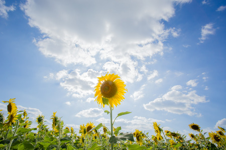 Sunflower is stand alone. Its bright and lovely. background is blue sky and be filled with cloudy. Stock Photo