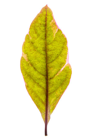 Green leaf on lightbox and isolated. It is symbol of green world.