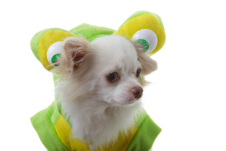 chiwawa: White chihuahua clothing green wear and big eye is funny on isolated background.