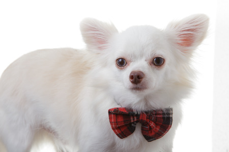 chiwawa: White chihuahua wear red bow tie  is smart on isolated background.