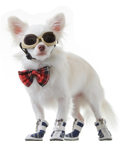 chiwawa: White chihuahua wear red bow tie and dark glasses is smart on isolated background. Stock Photo