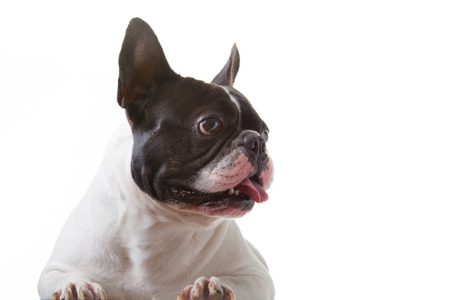 dishy: French Bulldog is smart on  isolated background.