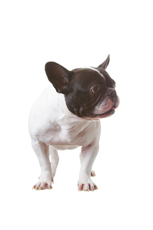 French Bulldog is smart on  isolated background.