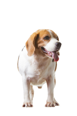 Beagle is smart on  isolated background.