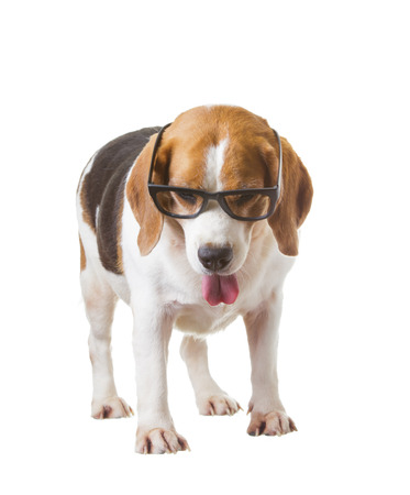Beagle wear glasses is smart on  isolated background.