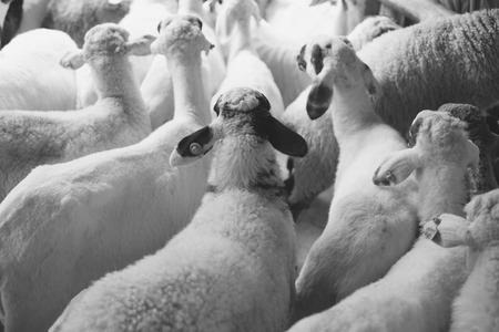 pecora: pecore sfondo bianco e nero.