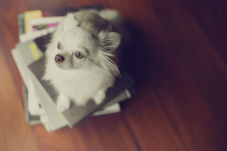 chiwawa: Lonely dog sit on books. This photo is cross process style.