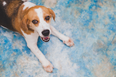 agape: Lovely beagle opening mouth on blur background.