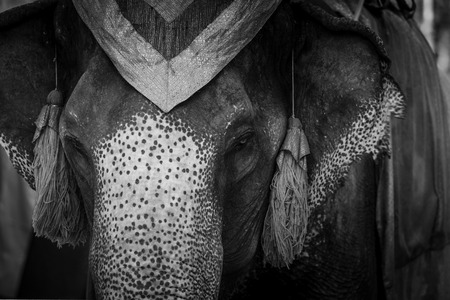 national identity: Beautiful close up of elephant in Ayutthaya Thailand. Elephant are identity of thailand or national animal.