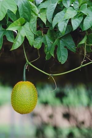 Baby Jackfruit in the farm. Stock Photo