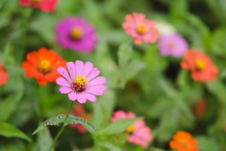 Colorfull of zinnia flower in the garden.