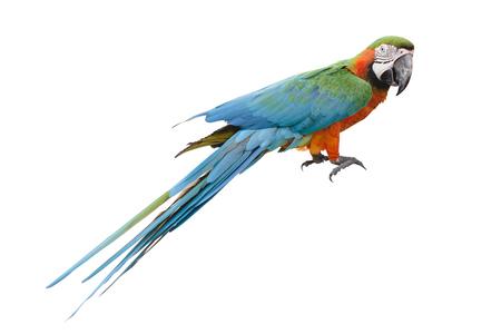 periquito: El loro del Macaw agarra un árbol en el fondo aislado blanco.
