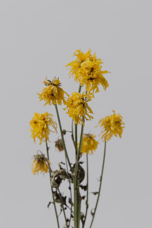 Yellow flowers wither on white background.