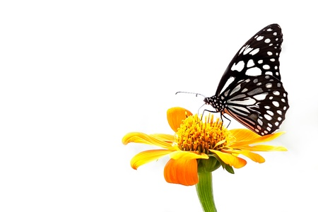 Black and White butterfly on yellow flower