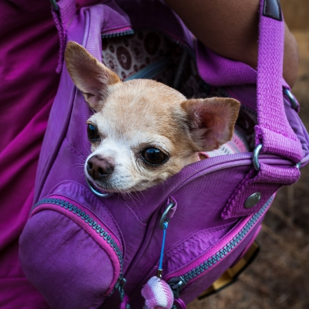 Little lovely dog in the  purple bag of traveller5