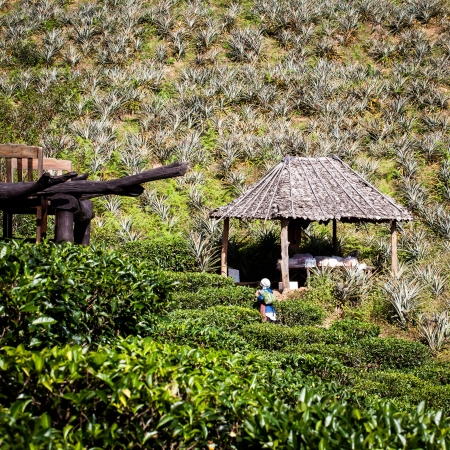 Gardener harvesting tea leaves on the hill photo