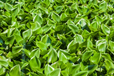 Group of Water hyacinth cover on river surface photo
