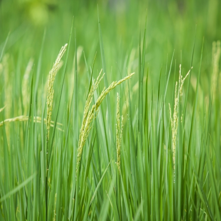 Paddy rice in green field Stock Photo