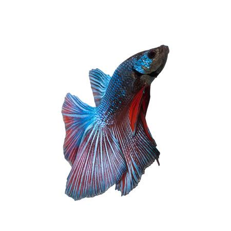 betta splendens: siamese fighting fish Betta splendens isolated on white