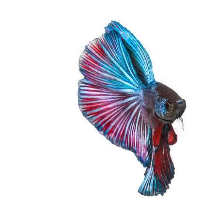 Betta fish, siamese fighter fish in isolated white background