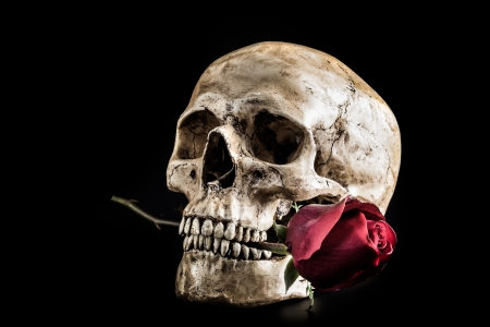 Still life with human skull with red rose in the mouth