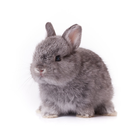 bunny rabbit: Grey rabbit bunny baby isolated on white background Stock Photo