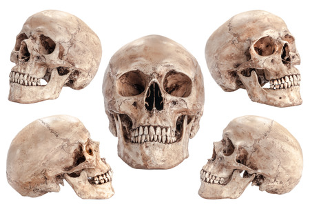 分離の白い背景の上の頭蓋骨モデル