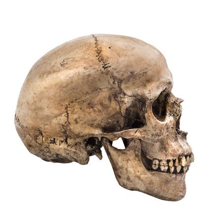 huesos humanos: Cráneo humano en fondo blanco aislado, vista lateral