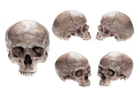 Cráneo modelo establecido en el fondo blanco aislado