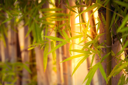 though: sun rise ray though the bamboo fence