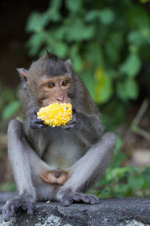 Monkey eat corn Stock Photo - 11515743