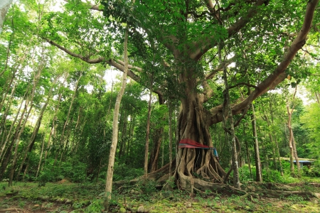 Big banyan tree in thegreenery jungle, Thailand. photo