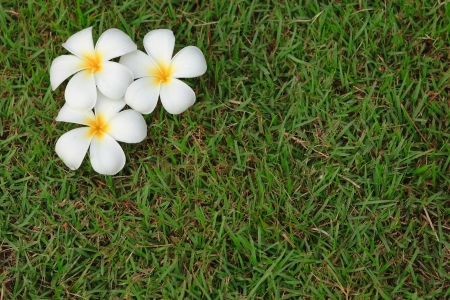 plumeria flower on the ground in the evening, Thailand  photo