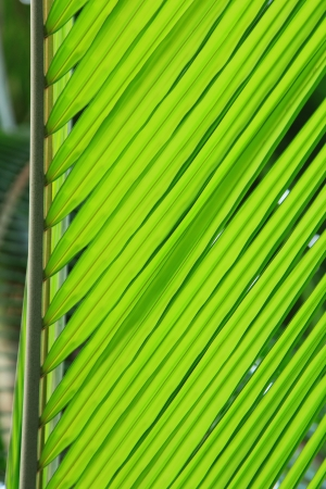green coconut leaf in nice pattern photo