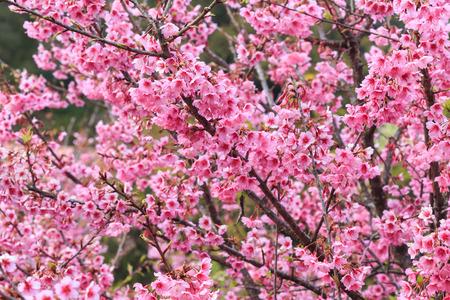 kuril: sakura flowers