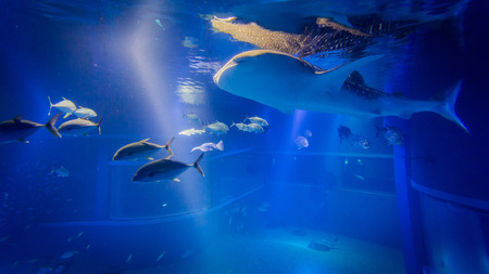 whale shark: The whale shark swimming with the fish in the aquarium . Stock Photo