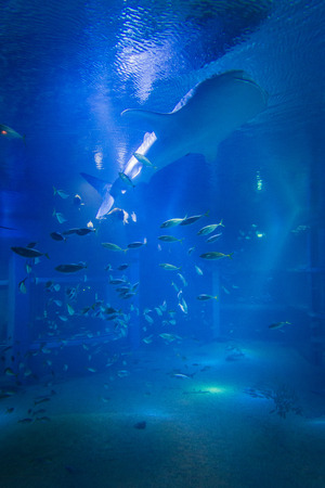 The whale shark swimming with the fish in the aquarium . Standard-Bild