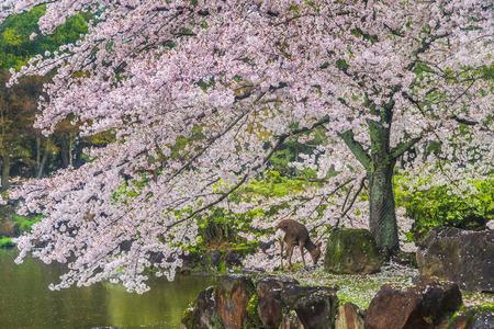 graze: Deer graze beneath the cherry trees,Japan .