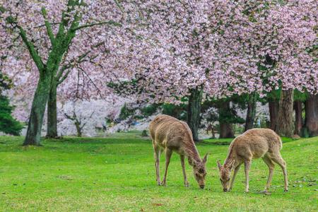 beneath: Deer graze beneath the cherry trees,Japan .